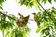 Nightingale Is Feeding Its You...