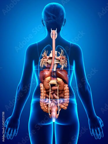 3d rendered medically accurate illustration of female Digestive System and heart - 361253788