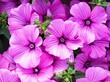 canvas print picture - Closeup shot of bright pink petunias under the sunlight