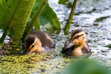 Beautiful Closeup Shot Of Two Striped Baby Ducks In  A Pond
