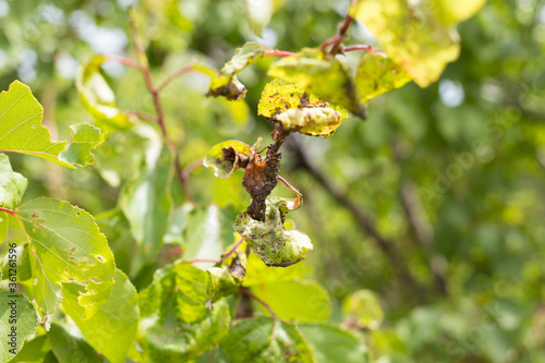 Fotomural Insect leaves, spoiled fruit leaves, garden pests
