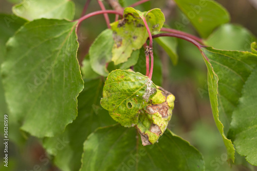 Insect leaves, spoiled fruit leaves, garden pests фототапет