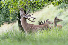 Red Deer Male Eats Leaves In T...