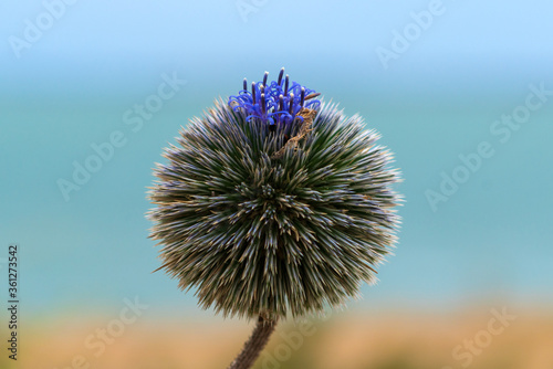 Obraz na plátne Echinops spinoissimus, Flowering echinops adenocaulos blossoms without petals