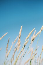 Beautiful Vertical Shot Of Long Grass Swaying In The Wind On A Bright Blue Background
