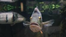 Peacock Bass. Cichl. Fish. Cic...