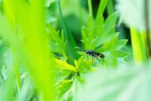 Black Ichneumon Fly On A Leaf