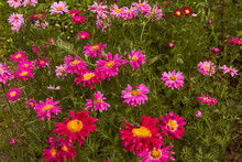 Red Flowers Pink Daisies, Aste...