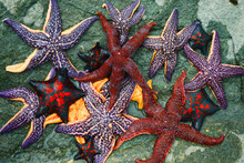 Colorful Starfish Collection O...