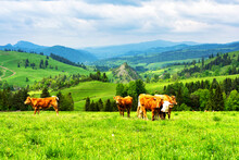 Cows On Alpine Meadow, In The ...