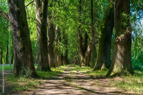 Alley of swamp cypress trees in Poti, Georgia Fotobehang