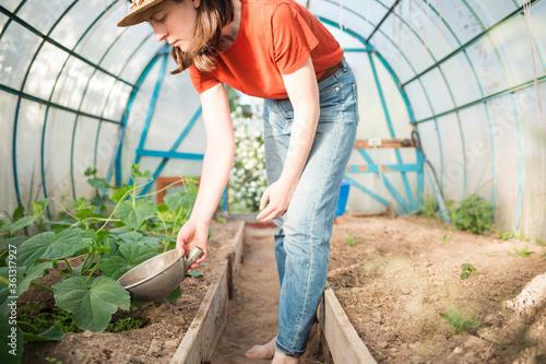 cucumber plants in greenhouse in summer garden . woman farmer watering seedlings. watering, growing organic food.