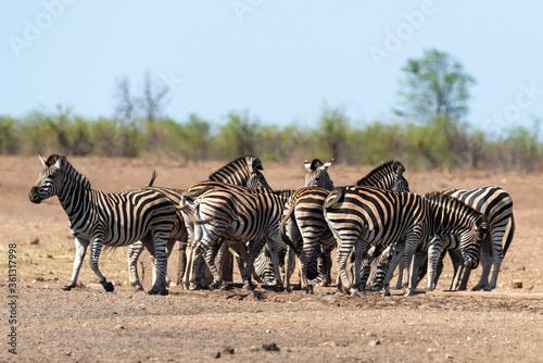 Fototapety, obrazy: Zèbre de Burchell, Equus quagga, Parc national Kruger, Afrique du Sud