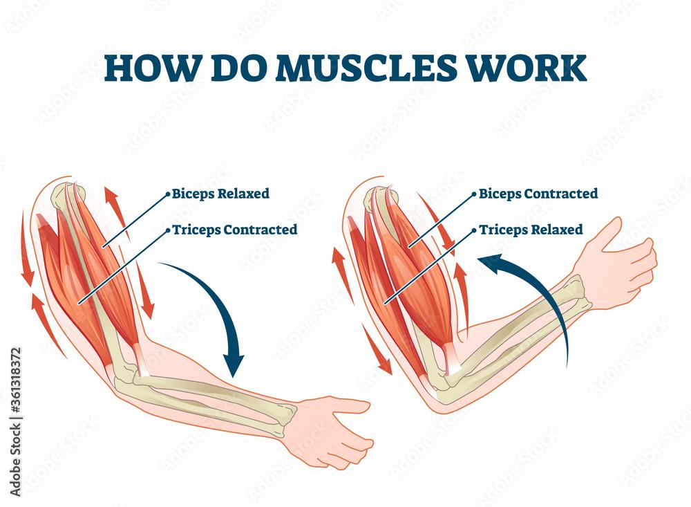 Fotografie, Obraz How do muscles work labeled principle explanation scheme vector illustration
