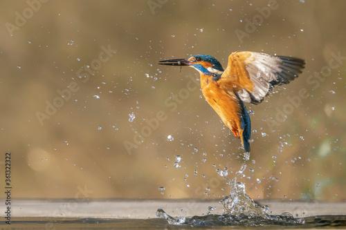 Fotografie, Obraz Common European Kingfisher (Alcedo atthis)