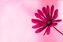 Gerbera Rose Sur Un Gros Plan ...