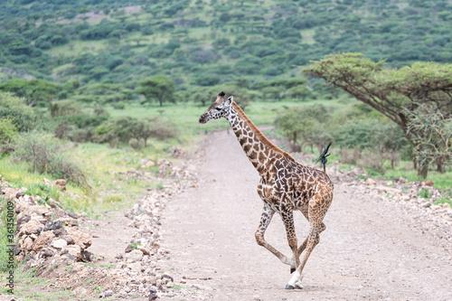 Giraffe crossing the wild, Tanzania