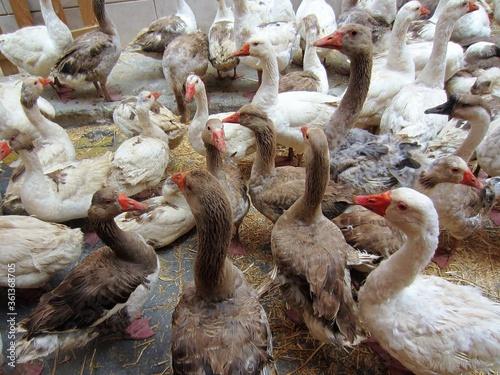 Fototapeta gaggle of geese