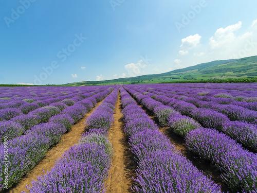 Fototapeta a field of lavender flowers with selective focus obraz na płótnie