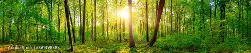 Panorama of a beautiful green forest with bright sun shining through large trees