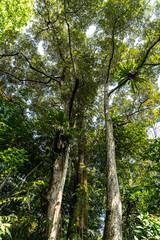 Large Durian Tree (Durio zibethinus)