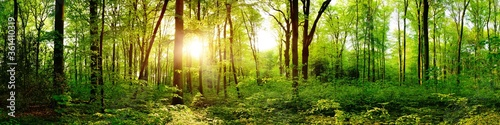 Foto Panorama of a beautiful green forest with bright sun shining through large trees