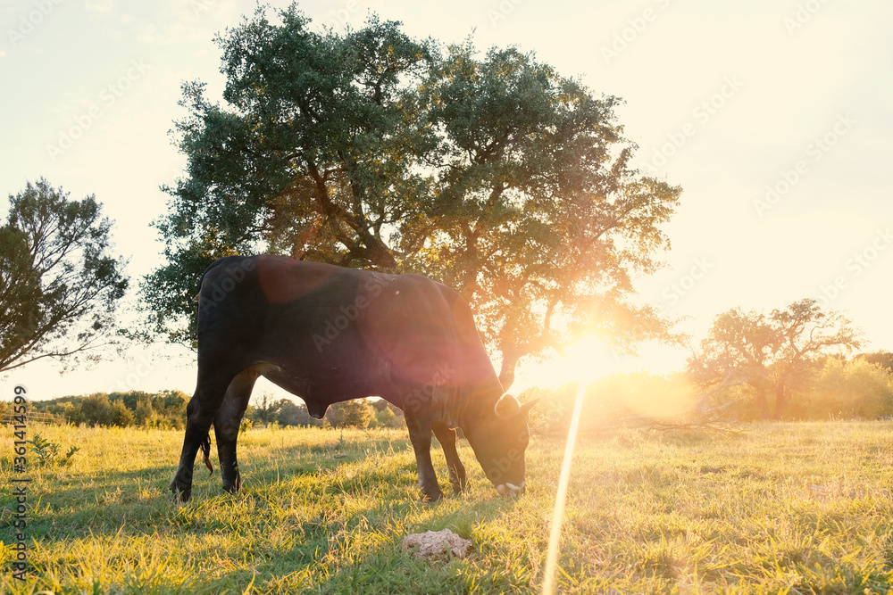 Fototapeta Young black cow grazing in summer landscape on Texas farm at sunset.