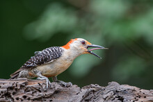 Red Bellied Woodpecker With Be...