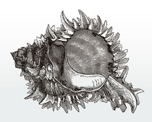 Spiny Shell Of The Regal Murex...