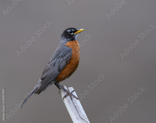 American Robin  Portrait on Gray Background Wallpaper Mural