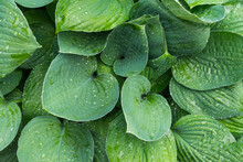 Wet Hosta Leaves. Water Drops ...