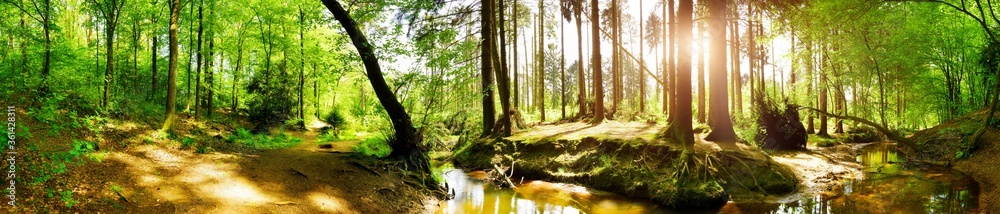 Fototapeta Panorama of a green forest in summer with bright sun shining through large trees onto a stream
