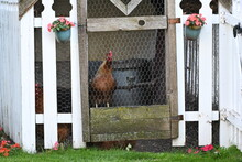 A Chicken Behind The Wire Of A...