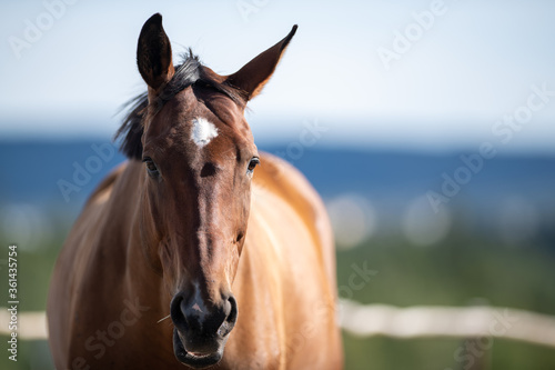 Fototapeta A brown horse looking straight ahead with the ocean, blue sky and trees in the background. The animal has a white patch on its forehead. The large smooth and silky looking animal has two pointy ears.  obraz
