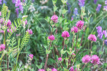 Blooming Clover In The Meadow
