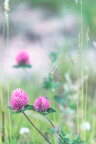 Blooming clover in the meadow - 361440789