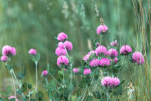 Blooming Red Clover
