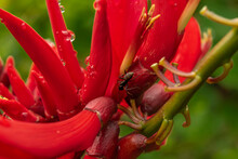 Ants On A Coral Tree Blossom