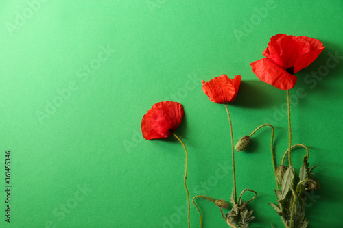 Obraz Beautiful red poppy flowers on green background, flat lay. Space for text - fototapety do salonu