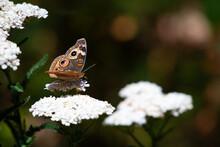 Common Buckeye Butterfly On Yarrow Flowers In San Diego County, Escondido, California In Summertime.