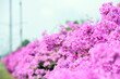 Leinwanddruck Bild - pink flower in the street