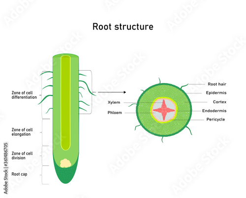 Foto Diagram showing root  structure  Plant anatomy