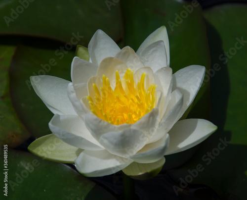 Fototapeta white lotus flower obraz na płótnie