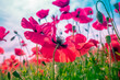 canvas print picture - Blossoming Poppies (papaver) field. Wild poppies against blue sky. Flower nature background