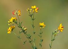Yellow Flower Of Bird's-foot Trefoil On The Meadow, Lotus Corniculatus
