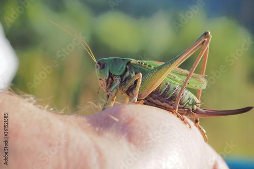 Fotografía Closeup shot of a green locust on a human hand