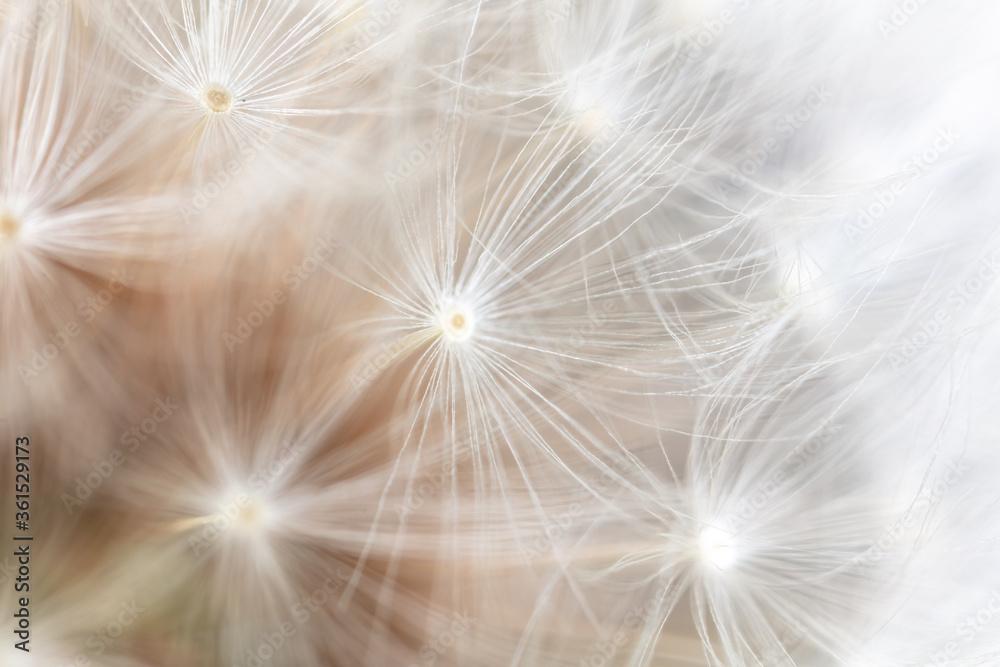 Fototapeta Close-up of a dandelion in nature.