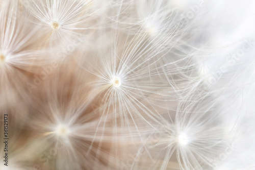 Obraz Close-up of a dandelion in nature. - fototapety do salonu