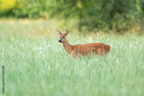 Obraz na plátně A roe deer in a forest meadow with tall grass.