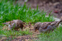 Close-up Of Two Sparrows Sitting On The Ground With Grass And Feeding Seeds